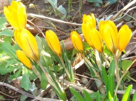 Gul krokus hører foråret til