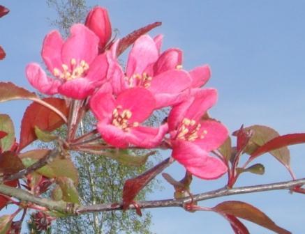 Pink paradisæble-blomster