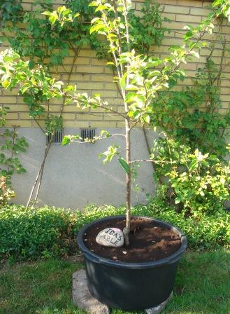 Æbletræet er midlertidigt plantet i en murerbalje