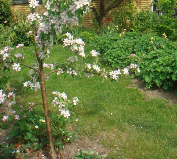 Ungt æbletræ (Elstar)