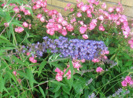 Pink og blåviolet - floks og sommerfuglebusk