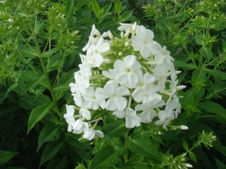 Hvid høstfloks