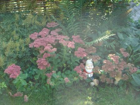 Sankthansurt i fuldt flor
