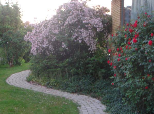 Dronningebusk og rose