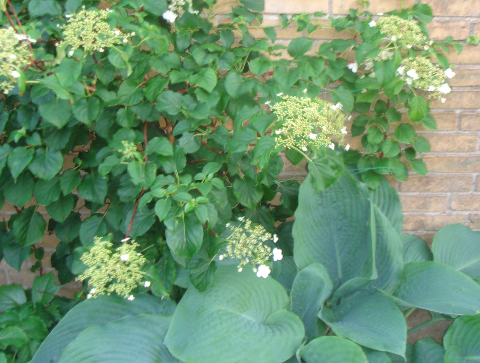Hosta og hortensia