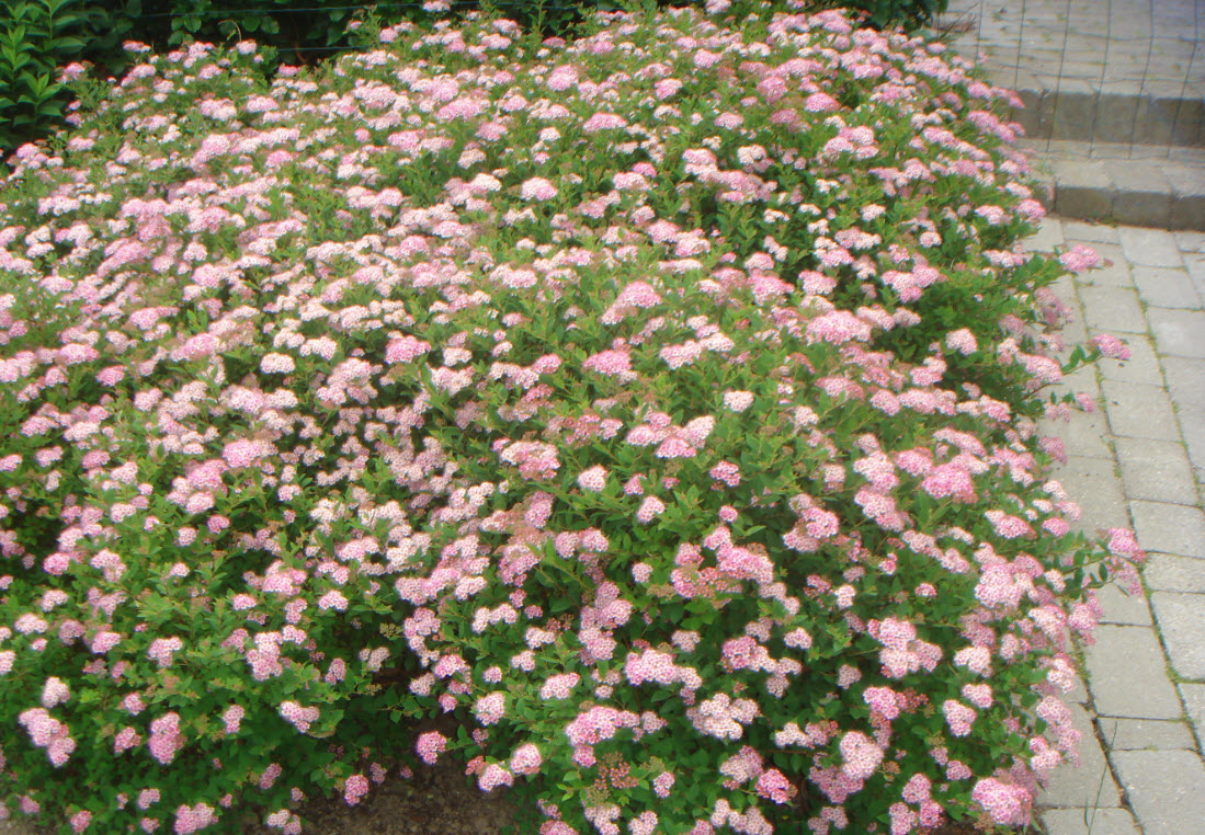 Spiraea 'Little Princess'