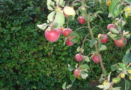 Aroma æbler