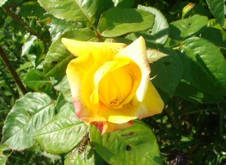 Plant rosen nu